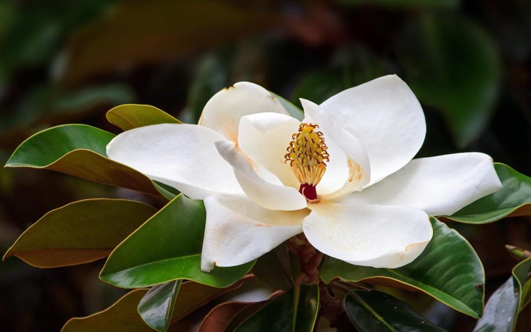 Risultati immagini per magnolia officinalis