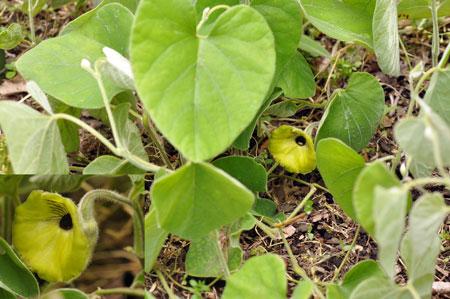Αποτέλεσμα εικόνας για Aristolochia mollissima