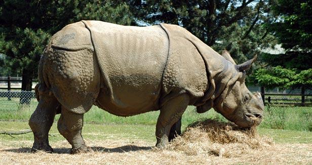 Rhinoceros indicus, Ceratotherium simum, Xi jiao, Rhinoceros
